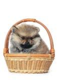 Spitz puppy isolated on white background Stock Images