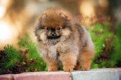 Spitz puppy looking at camera Stock Photography