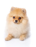 Spitz puppy lying in front. Royalty Free Stock Image