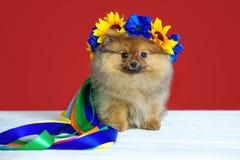 Spitz puppy met kroon Royalty-vrije Stock Afbeelding