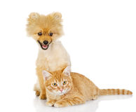 Spitz puppy and orange cat. Royalty Free Stock Photo