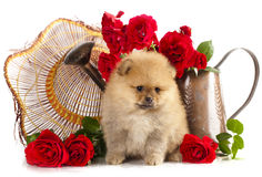 Spitz puppy. Pomeranian spitz puppies and flowers roses Stock Image