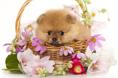 Spitz puppy. Pomeranian spitz puppies and flowers roses Stock Images