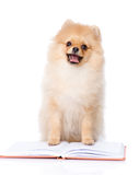 Spitz puppy read book. Royalty Free Stock Images