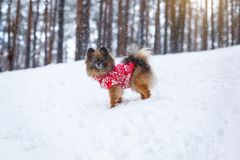 Spitz puppy in a red sweater walks in the woods. walks in the woods stock image