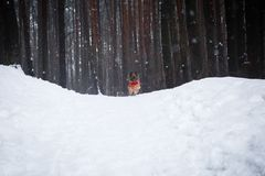 Spitz puppy in a red sweater walks through the woods. outdoor play. stock photography