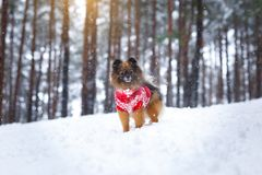 Spitz puppy in a red sweater walks in the woods. royalty free stock photo