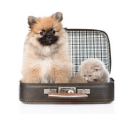 Spitz puppy and scottish kitten sitting in a bag. isolated Royalty Free Stock Images