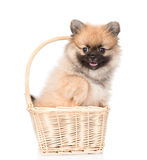 Spitz puppy sitting in basket on white background Royalty Free Stock Photo