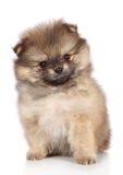Spitz puppy sitting. Close-up portrait Stock Image