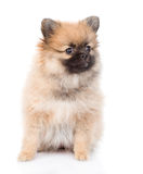 Spitz puppy sitting in front. isolated on white background Royalty Free Stock Photography