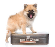 Spitz puppy standing on bag  on white background Royalty Free Stock Images