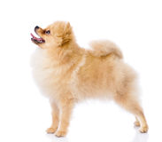 Spitz puppy standing in profile. Royalty Free Stock Images