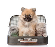 Spitz puppy and two scottish sitting in a bag. isolated on white Stock Images