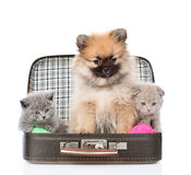 Spitz puppy and two scottish sitting in a bag Stock Photos