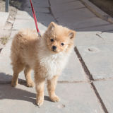 Spitz puppy Royalty Free Stock Photo