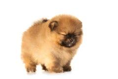 Spitz puppy on white Stock Photo