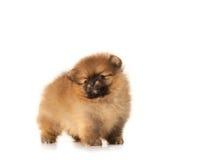 Spitz puppy on white Stock Image