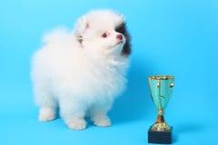Spitz puppy winner Stock Photography