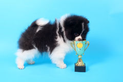 Spitz puppy winner Stock Photo