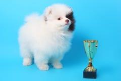 Spitz puppy winner Royalty Free Stock Image