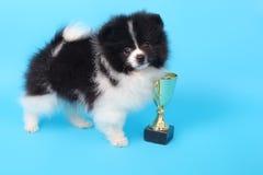 Spitz puppy winner Royalty Free Stock Photos