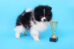 Spitz puppy winner Stock Images