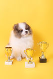 Spitz puppy winner Stock Image