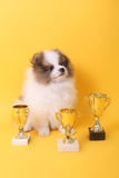 Spitz puppy winner Royalty Free Stock Images