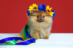 Spitz puppy with wreath Royalty Free Stock Image
