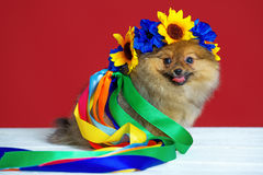 Spitz puppy with wreath Royalty Free Stock Photos