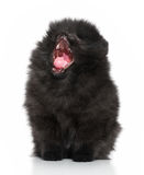 Spitz puppy yawns on a white background Royalty Free Stock Photo