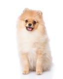 Spitz puppyzitting vooraan. stock afbeelding