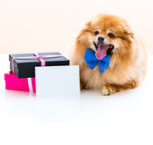 Spitz sits next to the gifts. Spitz dog sits next to the gifts Stock Images