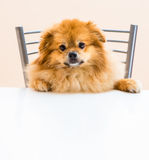 Spitz is sitting at the table on a chair. Dog Spitz is sitting at the table on a chair Royalty Free Stock Photo