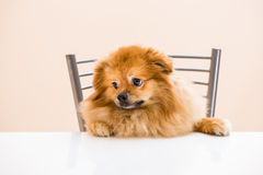 Spitz is sitting at the table on a chair. Dog Spitz is sitting at the table on a chair Royalty Free Stock Images