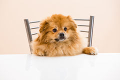 Spitz is sitting at the table on a chair Stock Image