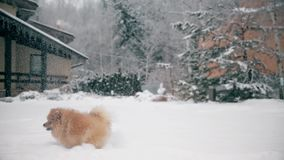 Spitz is a small dog leaping catches the snow stock footage