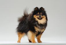 Spitz standing. Fluffy pitz standing on a gray background and looking at the camera Royalty Free Stock Photography