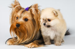 Spitz and terrier Royalty Free Stock Images