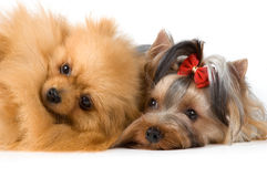 Spitz and terrier in studio Stock Photo