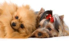 Spitz and terrier in studio Stock Photo