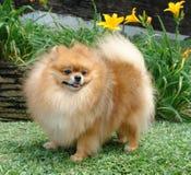 Spitz van Pomeranian Stock Afbeelding