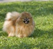Spitz van Pomeranian Stock Afbeeldingen