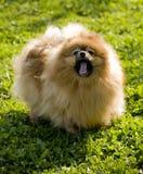 Spitz van Pomeranian Royalty-vrije Stock Foto