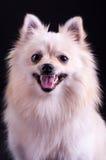 Spitz van Pomeranian Royalty-vrije Stock Foto's
