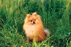 Spitz van Pomeranian Royalty-vrije Stock Afbeeldingen