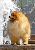 Spitz van Pomeranian met waterval Stock Fotografie