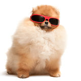 Spitz van Pomeranian puppy in rode zonnebril Royalty-vrije Stock Foto