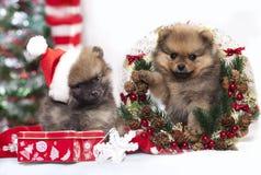 Spitz van Pomeranian van het Kerstmispuppy stock foto